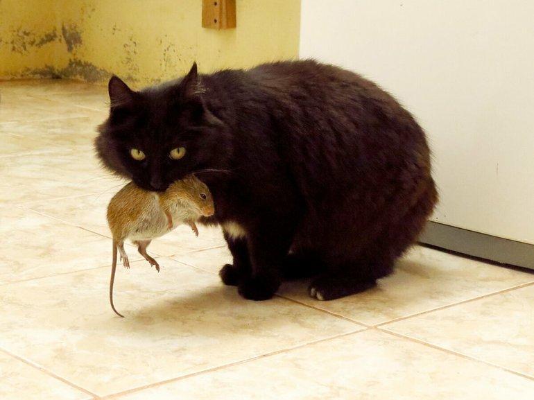 к чему снится во сне кошка поймала мышь
