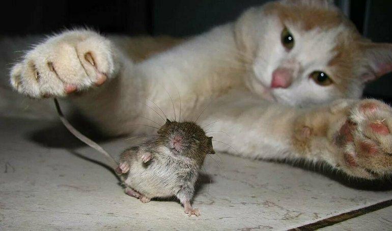 Сон кошка ловит мышку