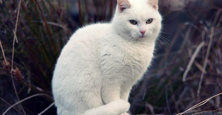 К чему снится белый кот