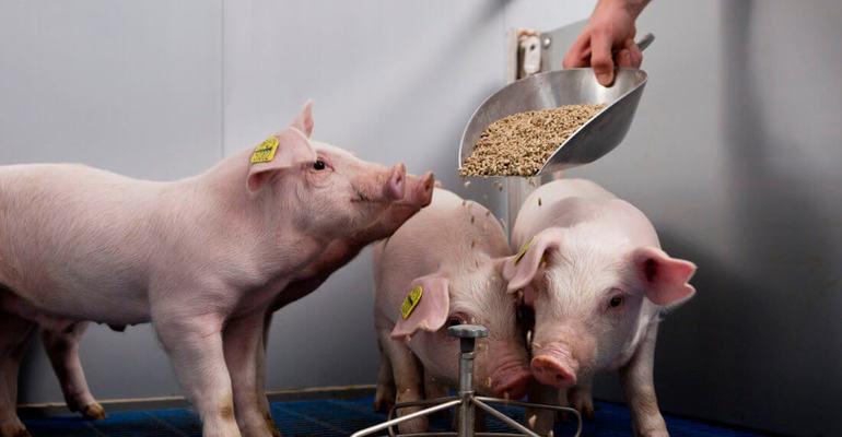 К чему снится кормить свиней