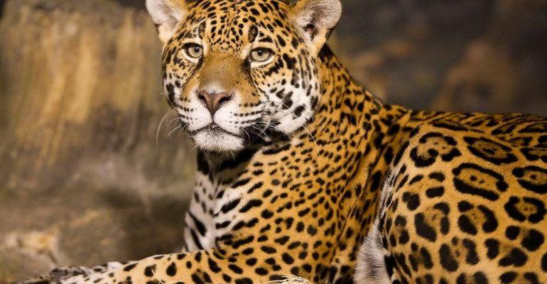 К чему снится леопард женщине