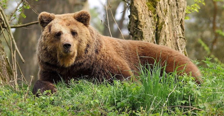 К чему снится медведь бурый сон
