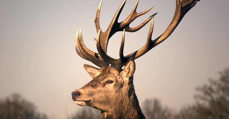 К чему снится олень с рогами