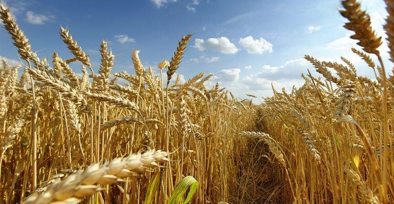 К чему снится поле пшеницы