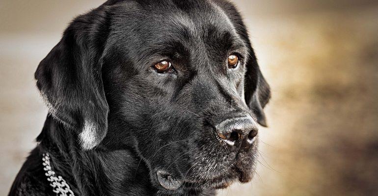К чему снится собака черная