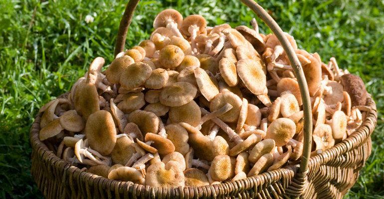 К чему снится собирать грибы опята