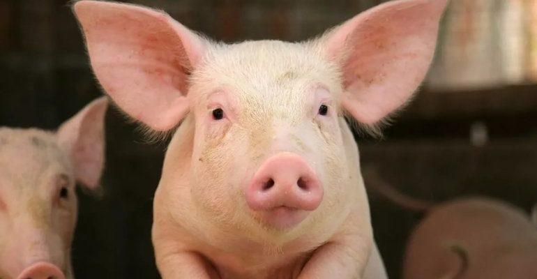 К чему снится свинья живая: толкование сонников с учетом подробностей увиденного