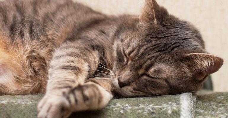 К чему снится умерший кот