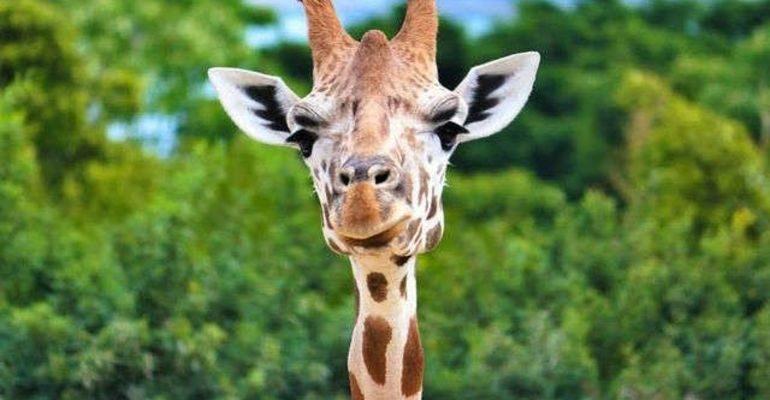 К чему снится жираф сонник