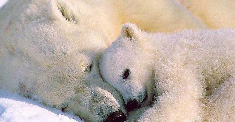 К чему снятся белые медведи
