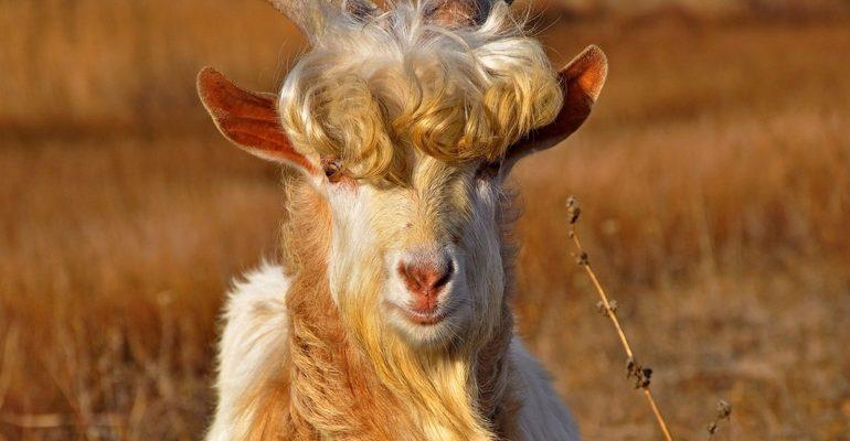 К чему снятся козы