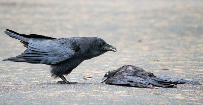К чему снятся мертвые вороны