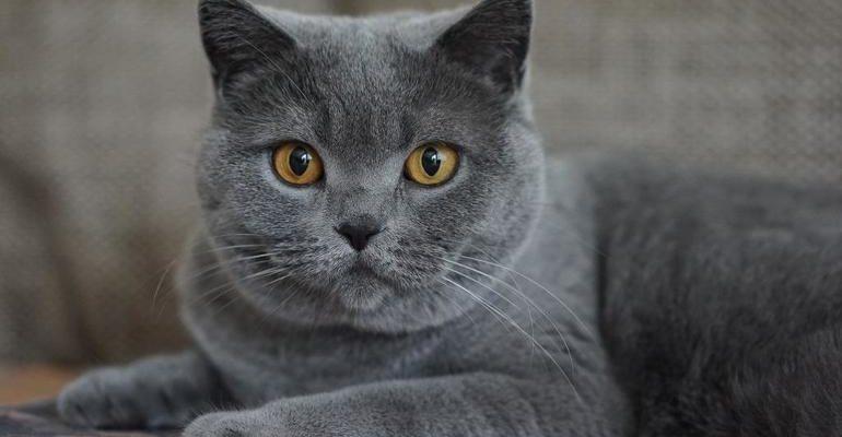 Серый кот сонник