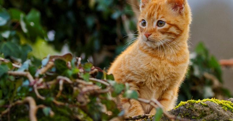 Сонник рыжий котенок