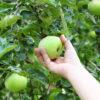 Яблоки собирать