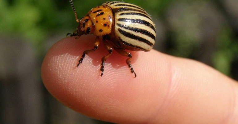 К чему снится колорадский жук