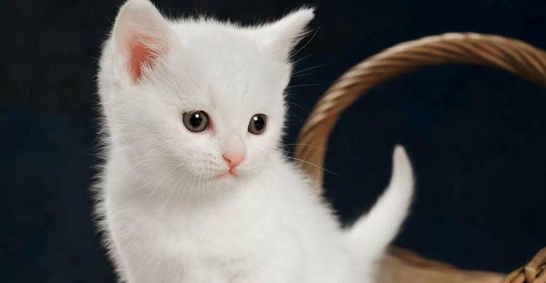 К чему снится котенок белый