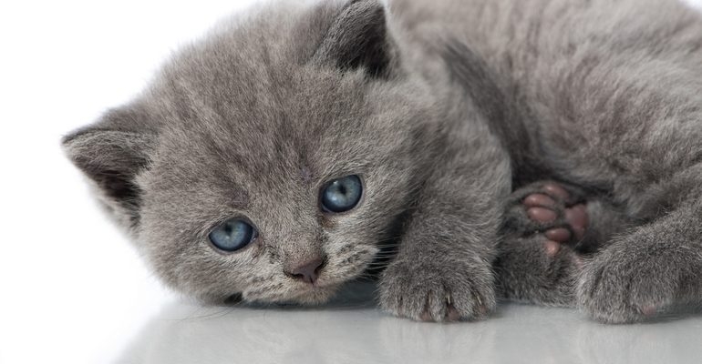 К чему снится котенок серый