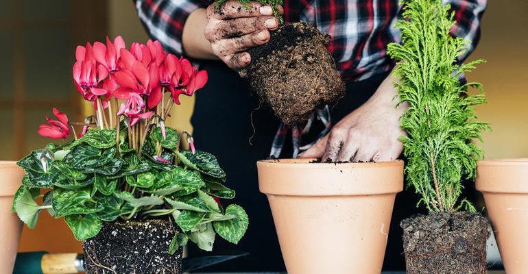 К чему снится пересаживать цветы в горшках