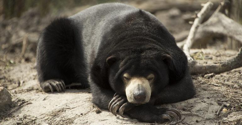 К чему снится убить медведя