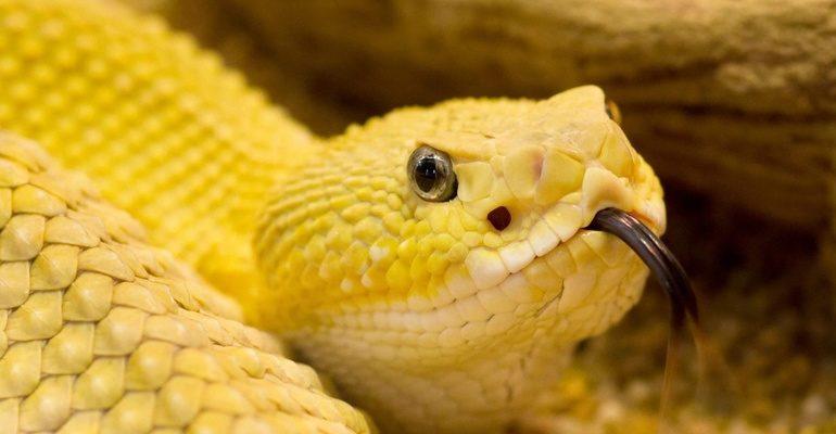 К чему снится желтая змея