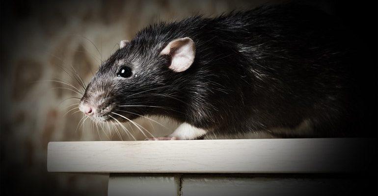 К чему снятся черные крысы