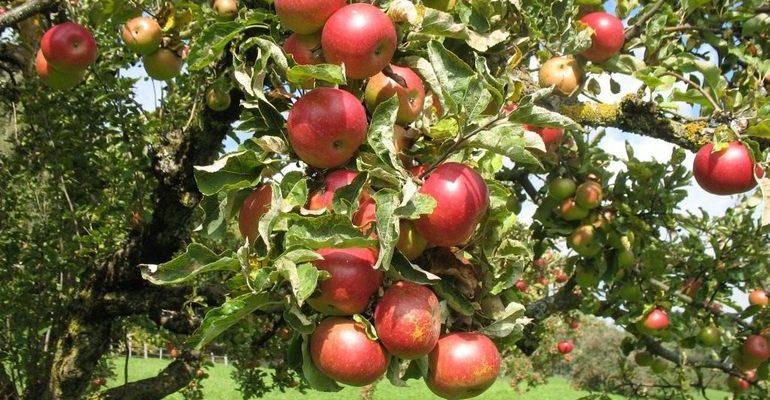 К чему снятся яблоки на дереве по сонникам: что значит ...