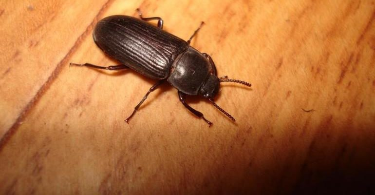 К чему снятся жуки черные