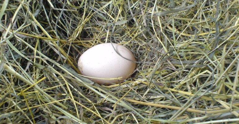 Сонник курица снесла яйцо к чему снится