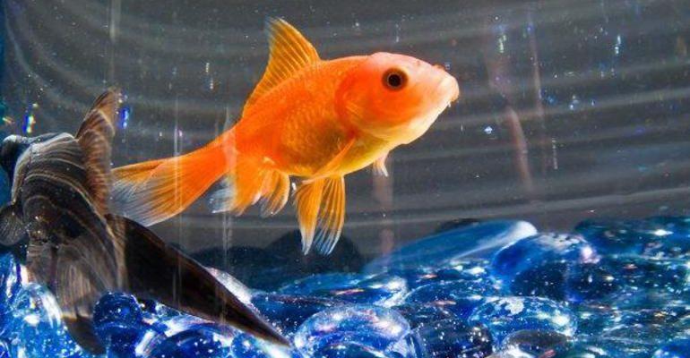 Сонник рыба в аквариуме