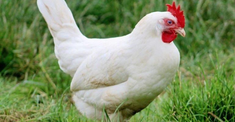 Белая курица к чему снится