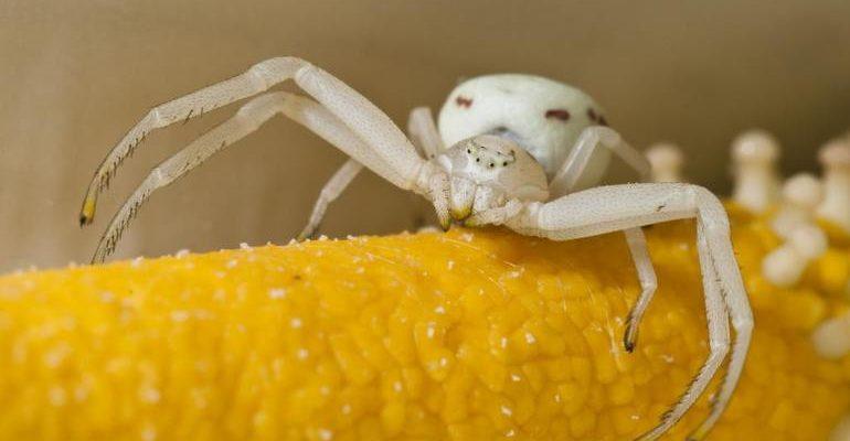 К чему снится белый паук