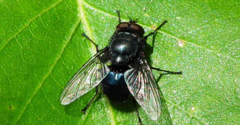 К чему снится муха