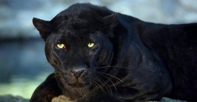 К чему снится пантера