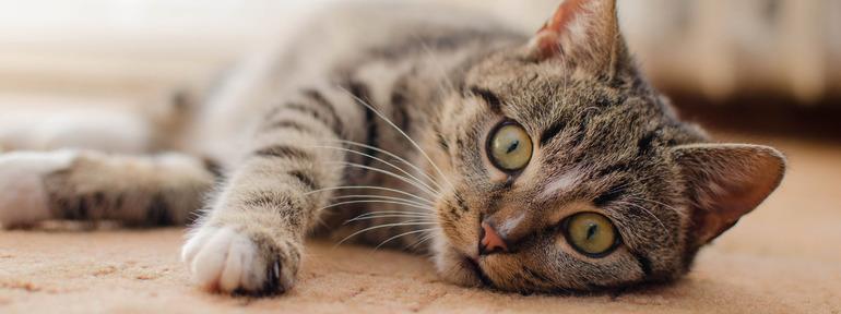 К чему снится пропавшая кошка