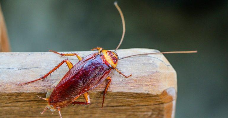 К чему снится таракан