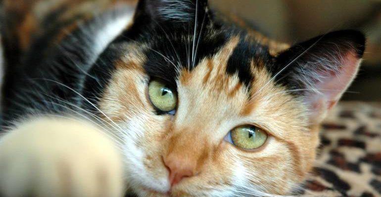 К чему снится трехцветная кошка