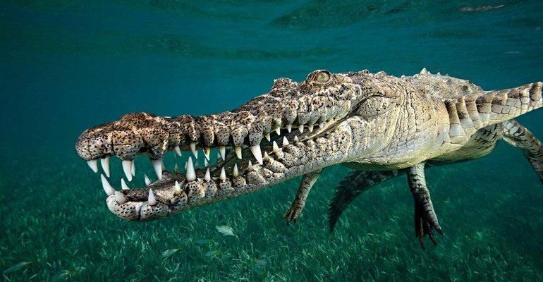 Крокодил в воде сонник