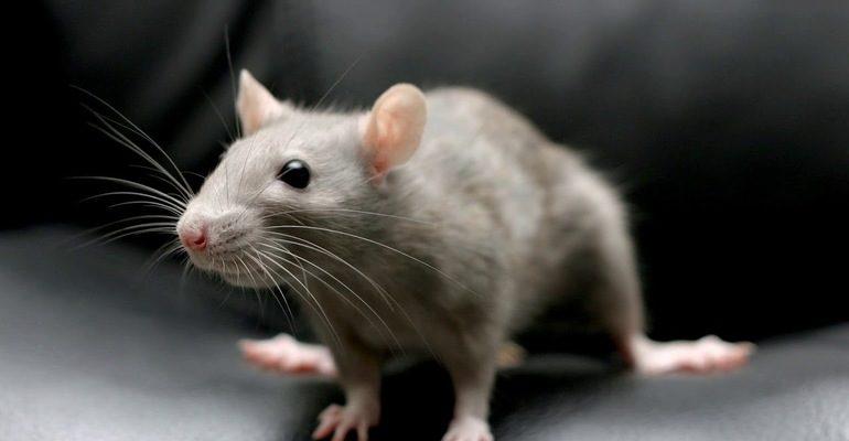 Сонник крысы