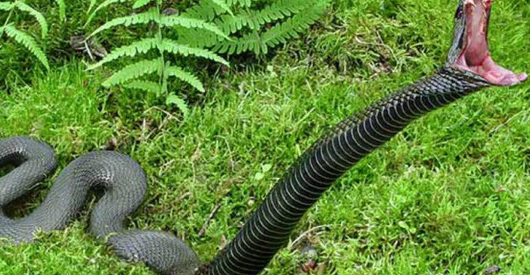 Змея нападает