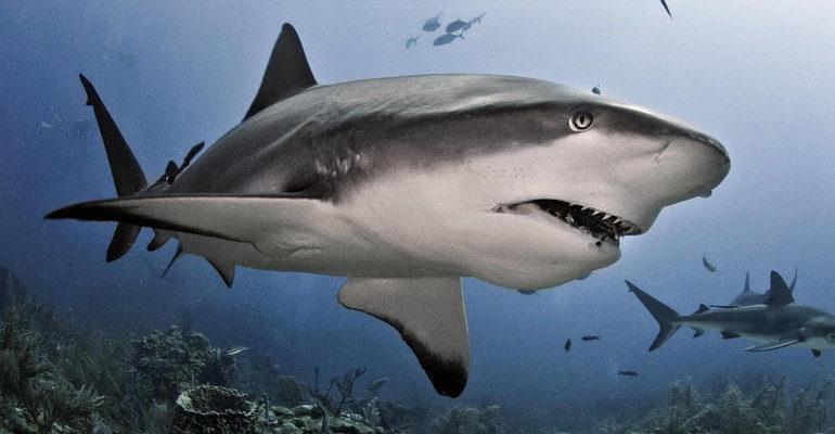 Акула к чему снится