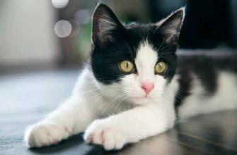 К чему снится черно белый кот