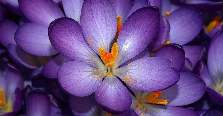 К чему снится цветок сонник