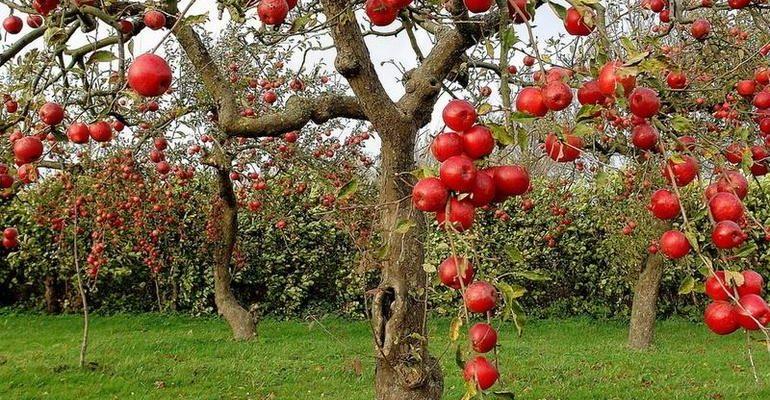 К чему снится яблоневый сад