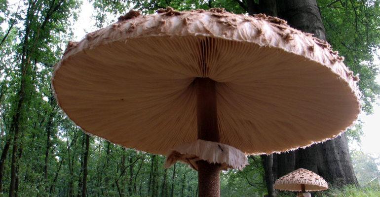 К чему снятся большие грибы сонник