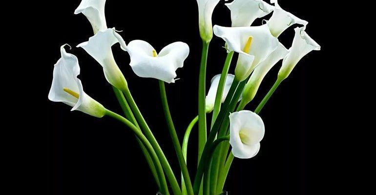 К чему снятся каллы цветы