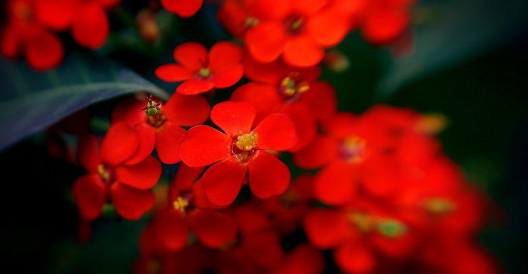 К чему снятся красные цветы