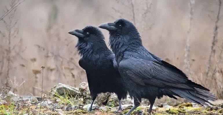 К чему снятся вороны
