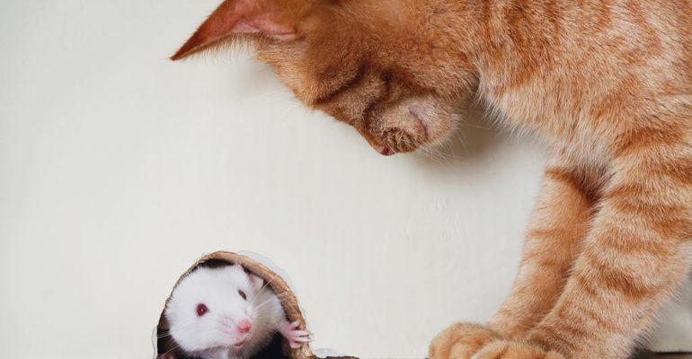 Во сне кошка поймала мышь сонник